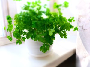 Selective Focus Growing herbs on the windowsill. Young sprouts of parsley  in a pot on a white windowsill.