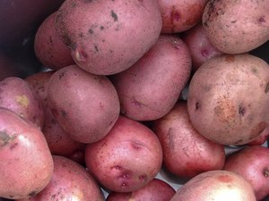 Red Potatoes in a Bucket