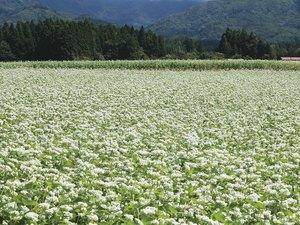 Buckwheat field in Kitakata, Fukushima Prefecture, Japan