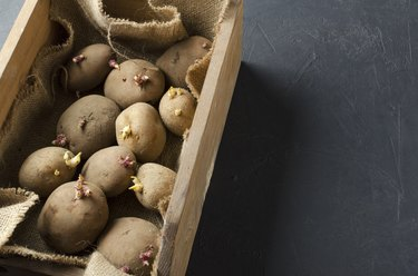 Closeup of heap of different sorts  sprouted potatoes