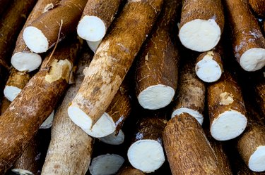 Cassava, also called manioc, yuca, balinghoy, mogo, mandioca, kamoteng kahoy, tapioca and manioc root, a woody shrub of the Euphorbiaceae family native to South America