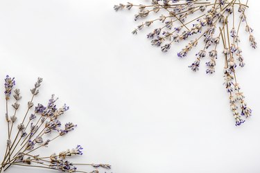 Beautiful blooming lavender flowers on white background