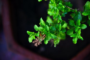 Close view of holy basil as an herb for weight loss