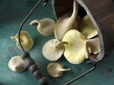 Golden oyster mushrooms (Pleurotus citrinopileatus), freshly picked