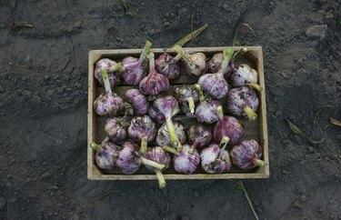 Close up of garlic in basket