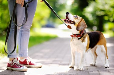 Obedient Beagle dog with his owner