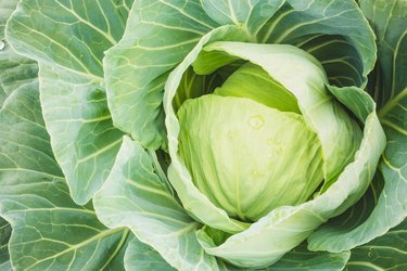 Head of Green Cabbage And Leaves