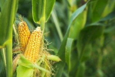 GMO corn growing in a field.