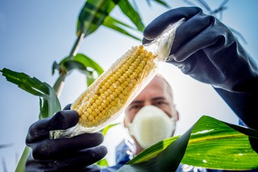 A farmer looking at a GMO corn plant in the field