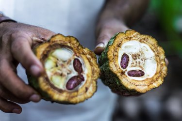 A pair of hands hold a cocoa fruit that is cut in half, revealing the cocoa seeds