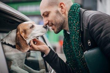 Beagle saying hello to a man