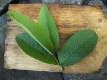 fresh green guava leaves on wooden surface, as a toothache remedy