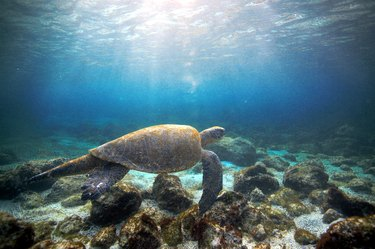 Tortoise swimming near the Galapagos Islands