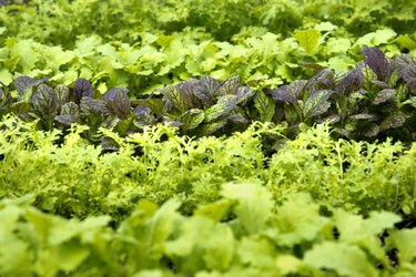 Rows of Young, Fresh Mustard Greens