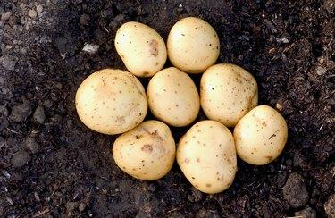 Potatoes in soil, close up