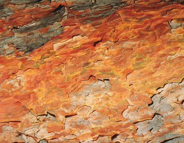 Photography of bark of red pine, Close Up