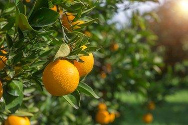 Organic oranges, on homegrown orange tree