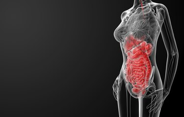 3d render illustration of the female digestive system