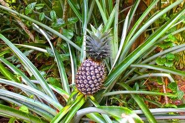 ordinary pineapple growing like grass