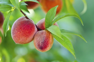 Peach tree closeup