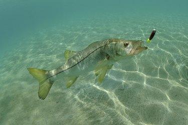 Snook in ocean chasing lure