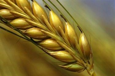 Stalk of Wheat