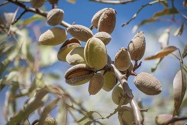 Almonds on Tree