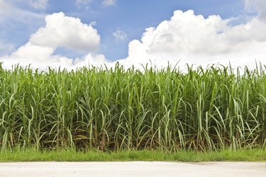 Sugarcane field and cloudy sky