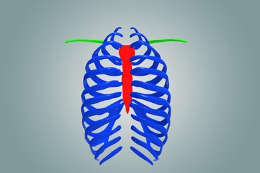 The ribcage is separated from the lower abdomen by the thoracic diaphragm which controls breathing. When the diaphragm contracts, the thoracic cavity is expanded, reducing intra-thoracic pressure and drawing air into the lungs.