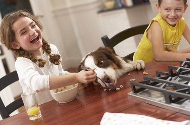Girl (6-8) feeding dog breakfast cereal at kitchen table, laughing