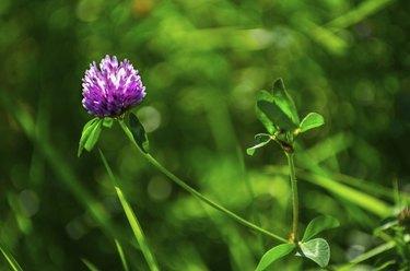Trifolium pratense - Red clover in late summer sun