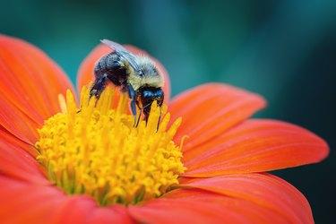 Bee on an Orange Flower