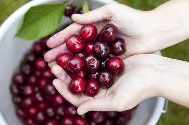 fresh picked organic cherries