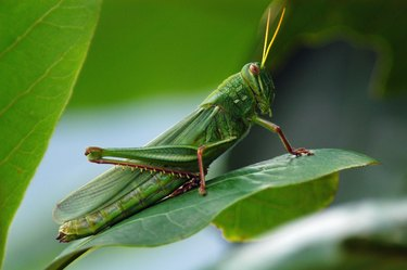 Locust on leaves