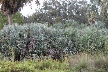 Florida palmetto landscape