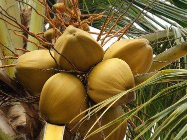 Looking At Healthy Coconut Fruits Tree In Vinales Cuba