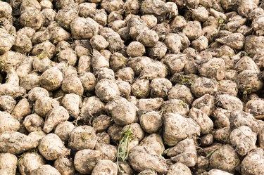Sugar beet roots