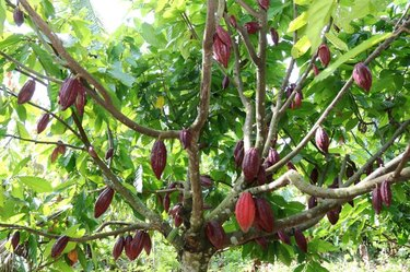 Pinrang cocoa plantations in South Sulawesi