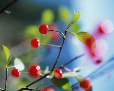 Close-up of Montmorency cherries