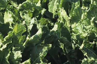 Turnip green field, close-up