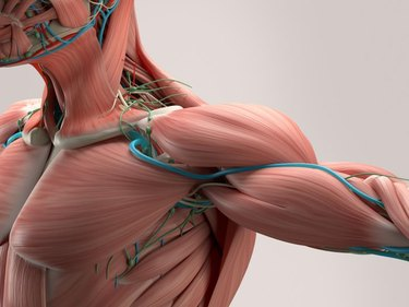 Human anatomy detail of shoulder. Muscle, bone structure, arteries. On plain studio background. Professional lighting.