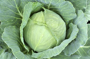 close-up of fresh cabbage