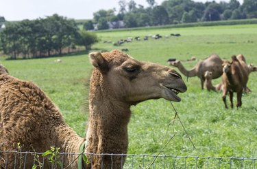 Camels in Pasture