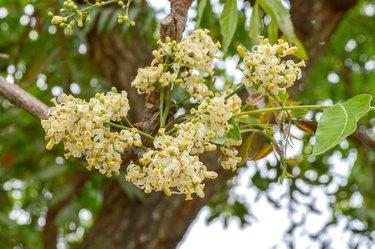 white Neem flower