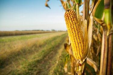 Single Ripe Yellow Cob Of Corn On A Cornfield