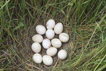 Wild Turkey Eggs On Nest