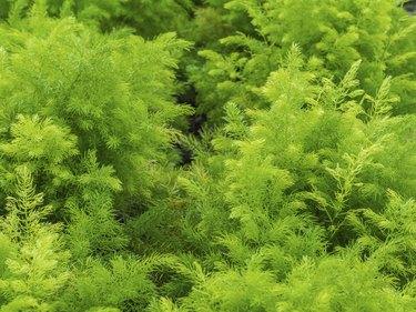 Fresh green bush of Shatavari (Asparagus racemosus  Willd.)