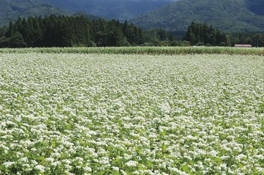 Buckwheat field in Kitakata, Fukushima Prefecture, Japan