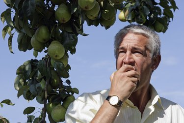 Senior man eating pears in orchard