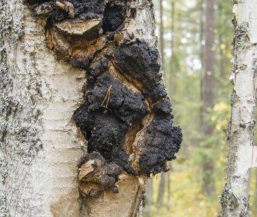shelf fungus  on the birch tree